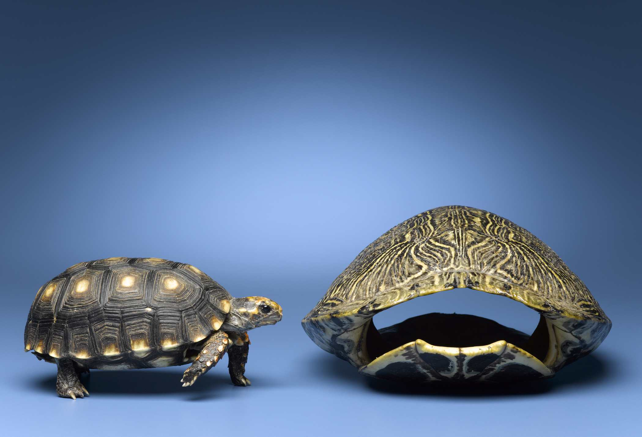 A turtle looking at an empty turtle shell on a blue background.