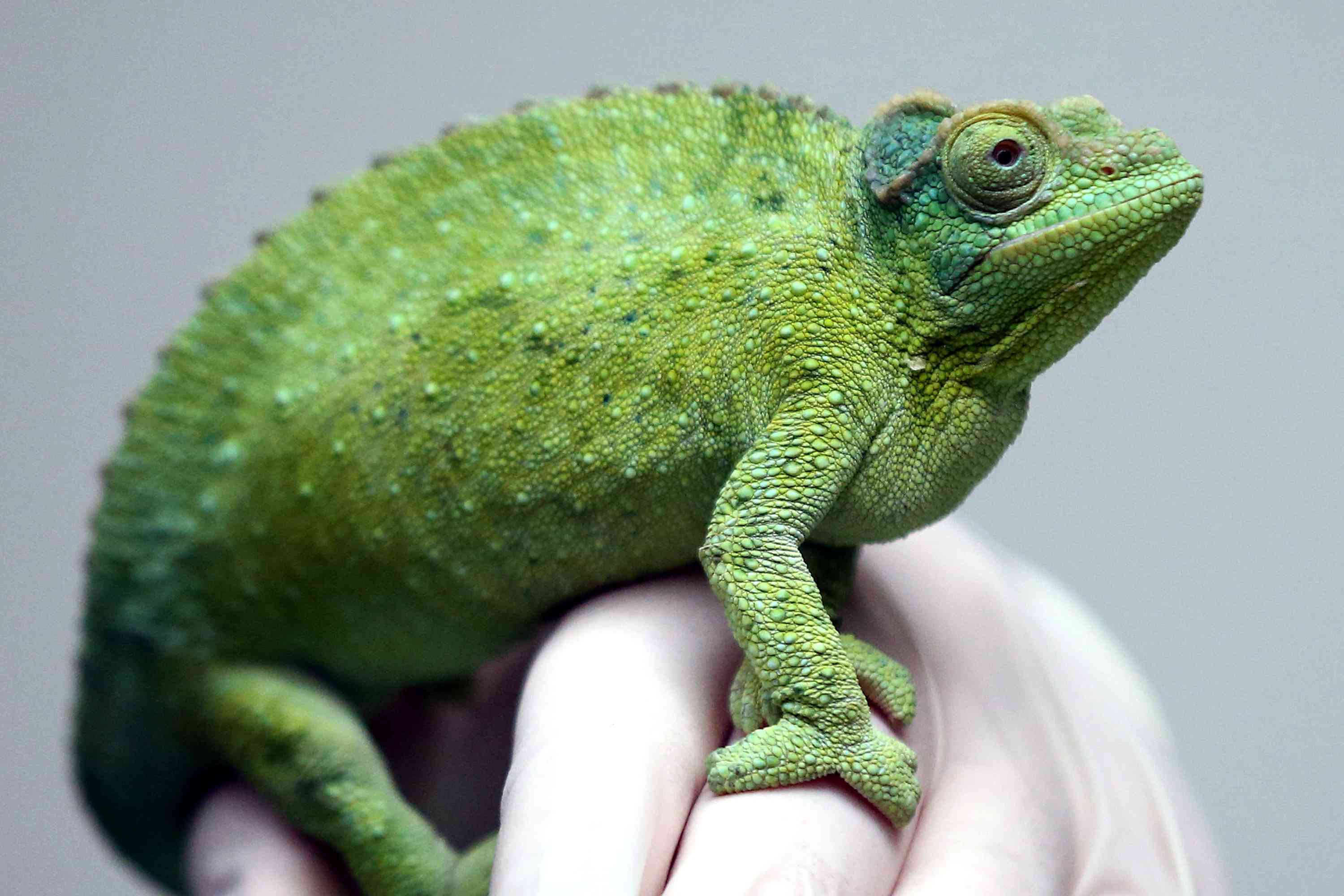 A Jackson's chameleon handled by a zookeeper in London