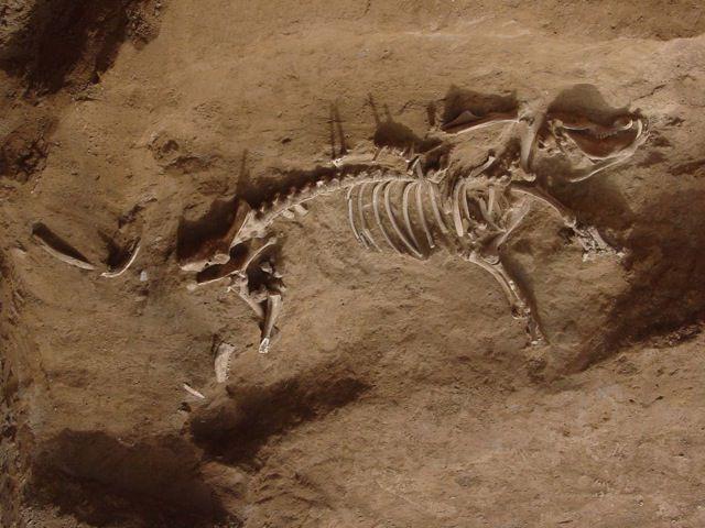 4,000-Year-Old Pig Skeleton at Taosi