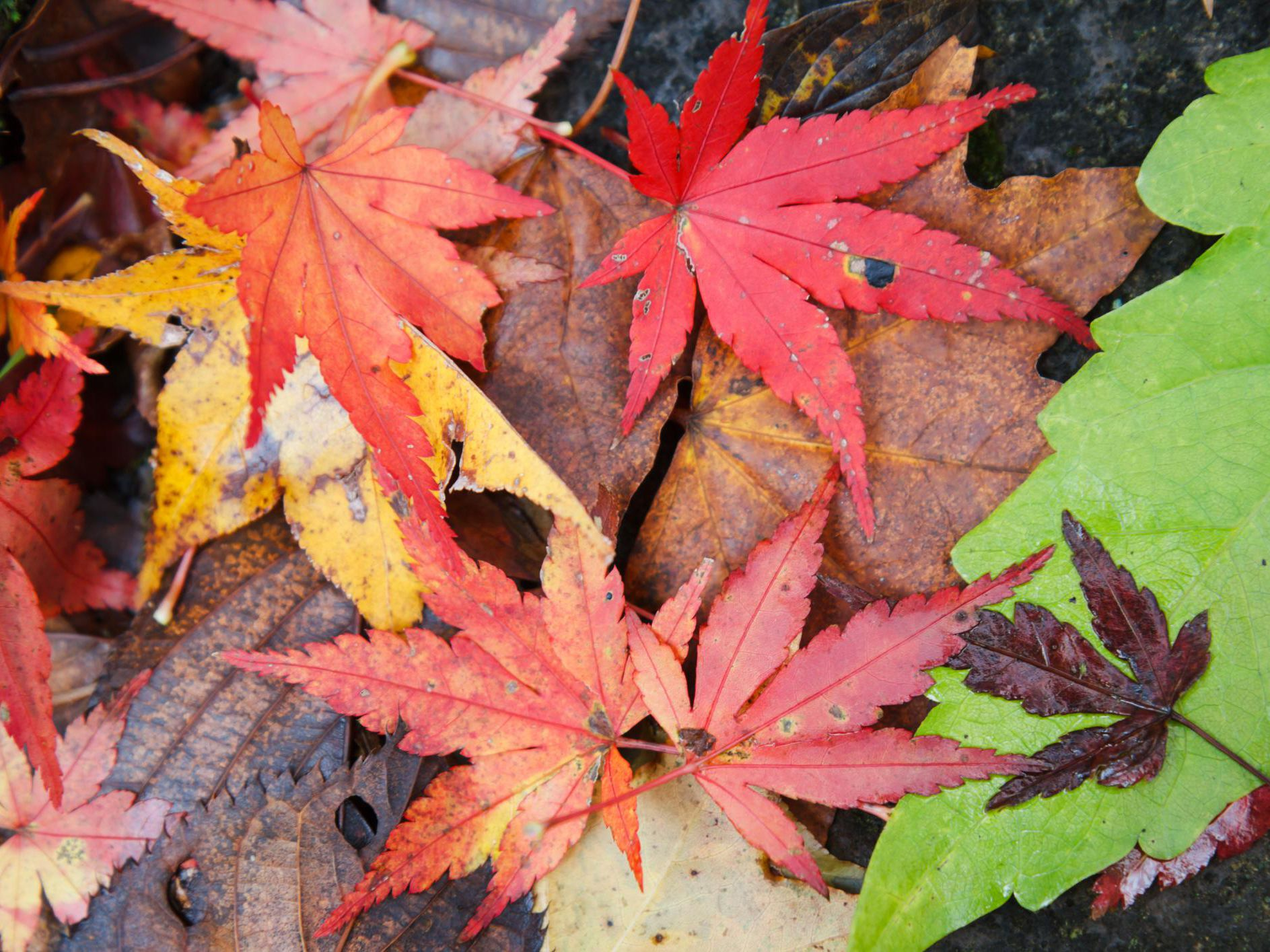How To Manage And Id Japanese Maple