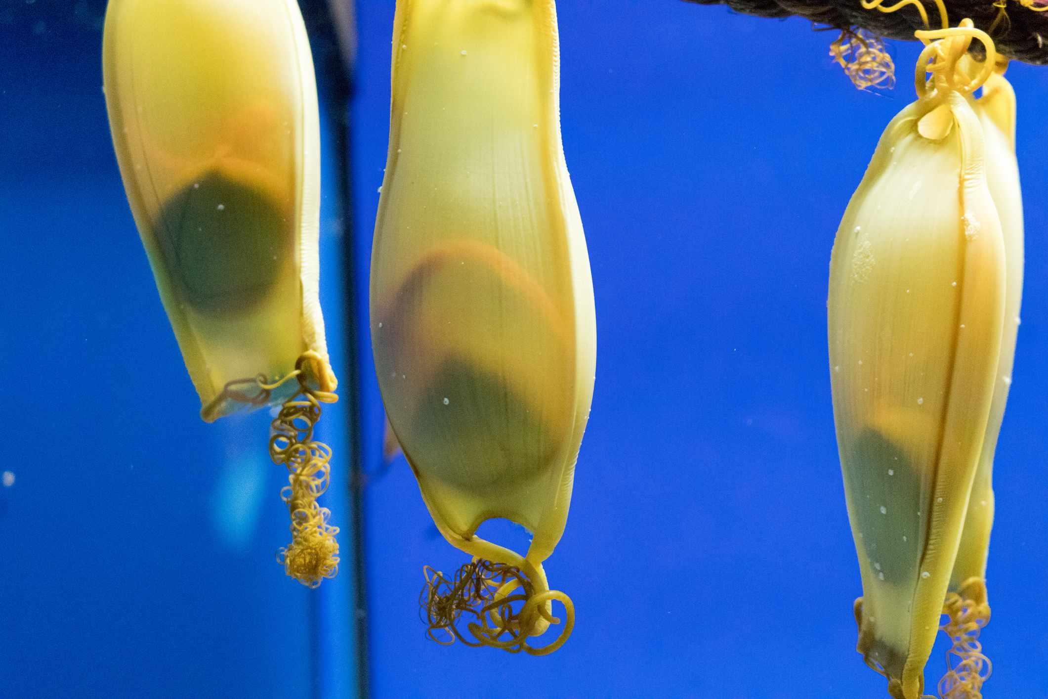 Close-Up Of Shark Eggs In Water At Aquarium