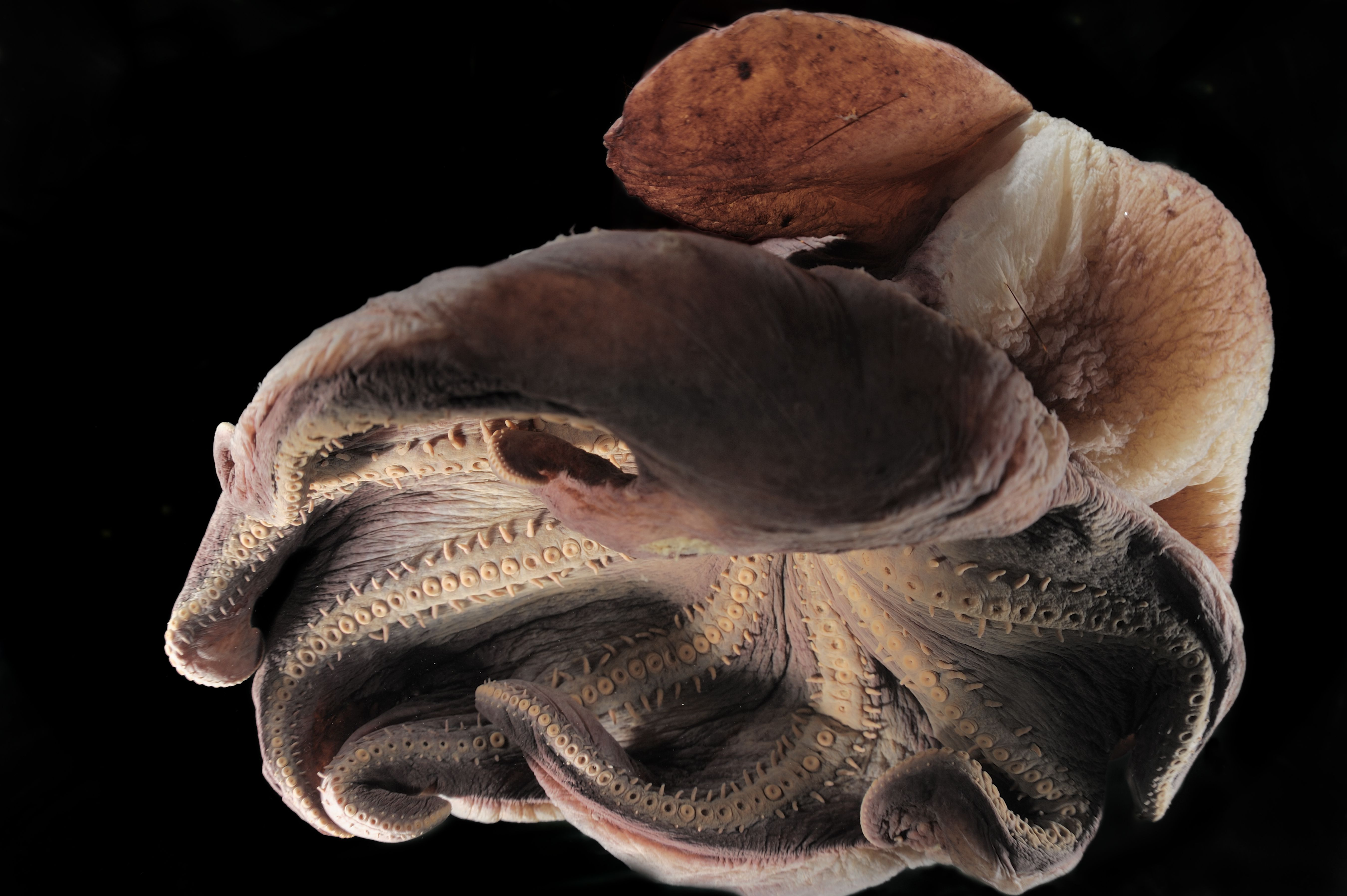 All About Grimpoteuthis, the Dumbo Octopus