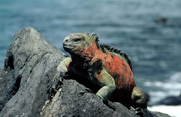 Marine iguana on Santa Cruz Island in the Galapagos
