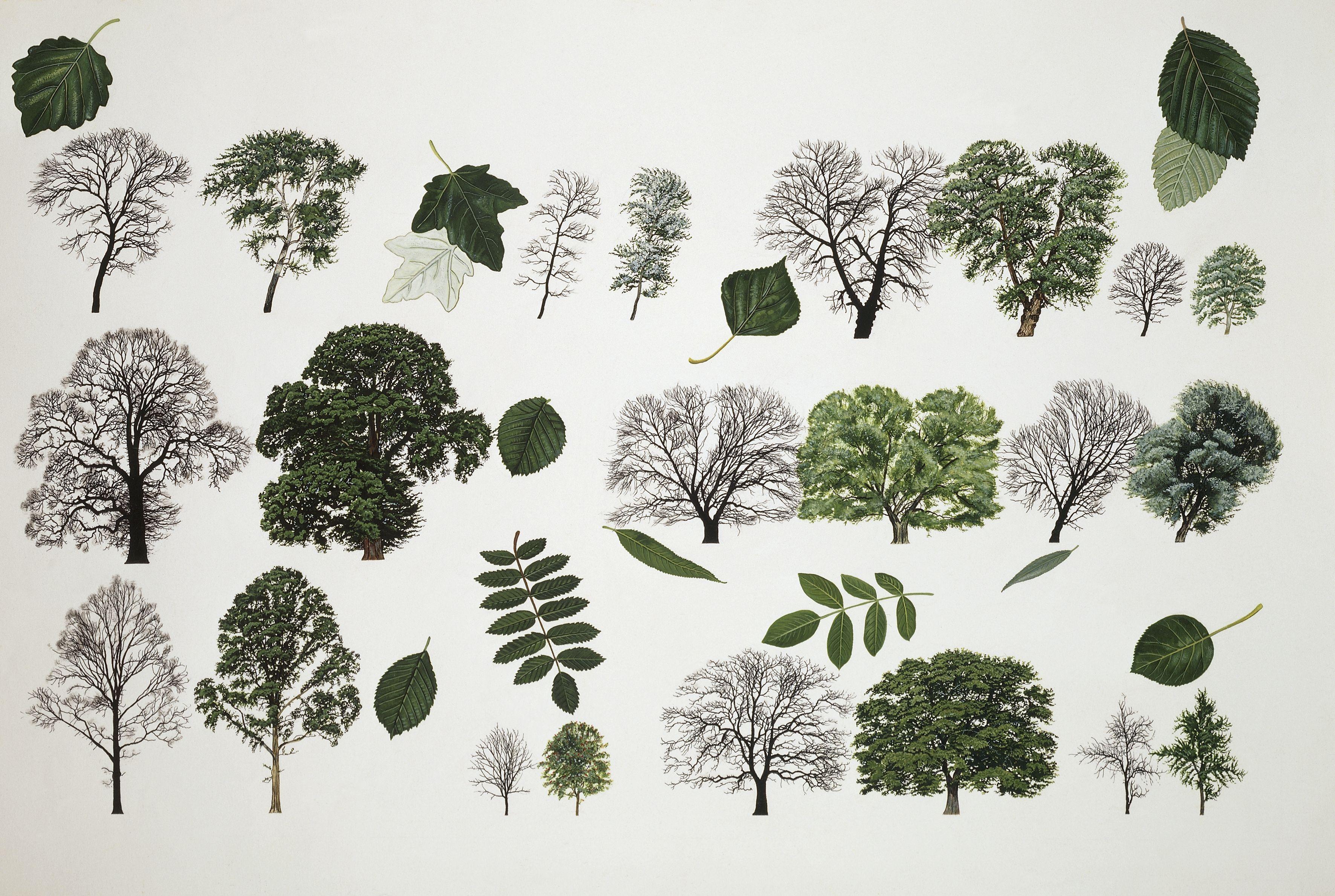 Willows (Salix sp.), illustration