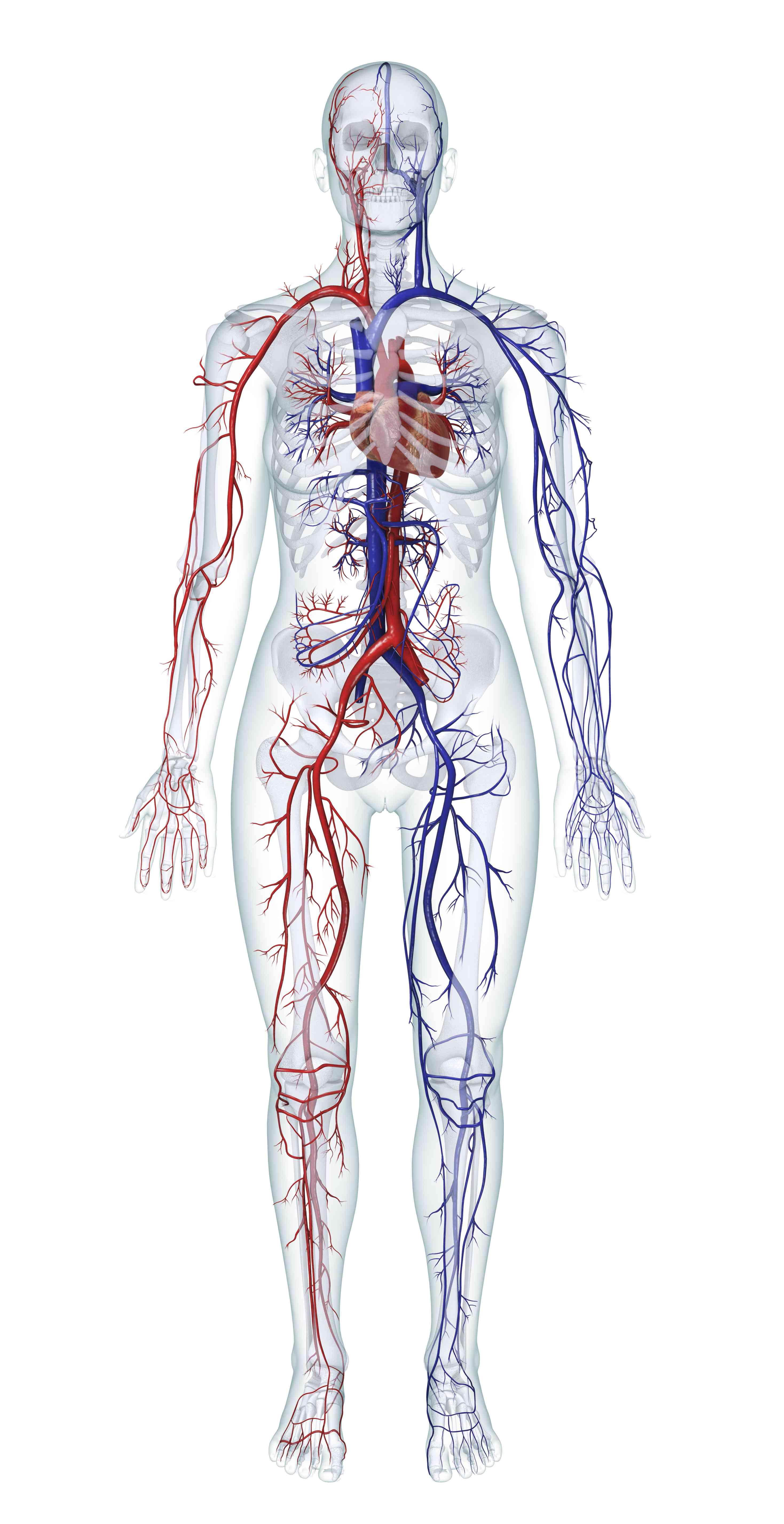 Digital illustration of the human cardiovascular system (female)