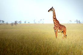 A lone giraffe in a grassy savannah