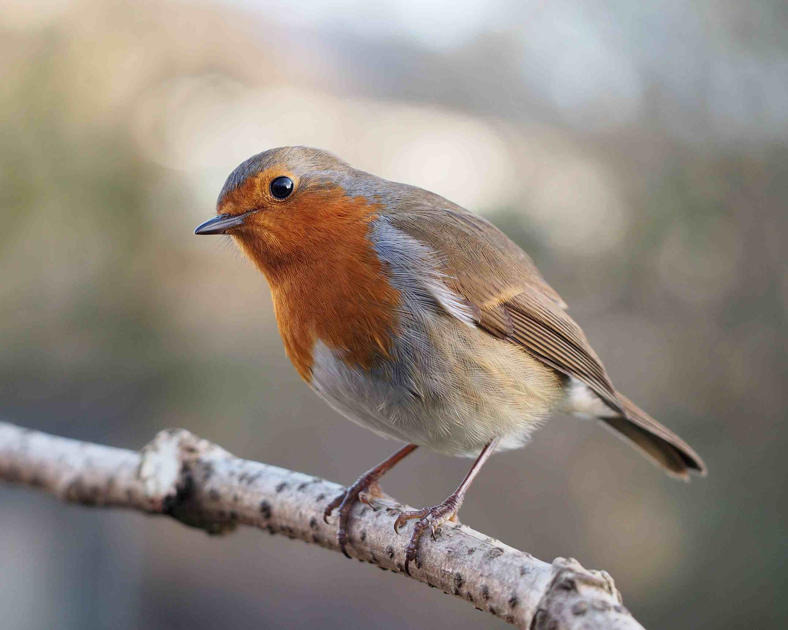 European robin with head cocked sitting on a branch.