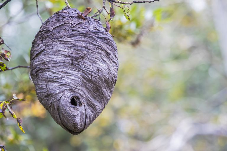 A large hornet nest hanging from tree branches.