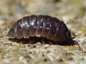 Armadillidium vulgare, a type of pill bug.