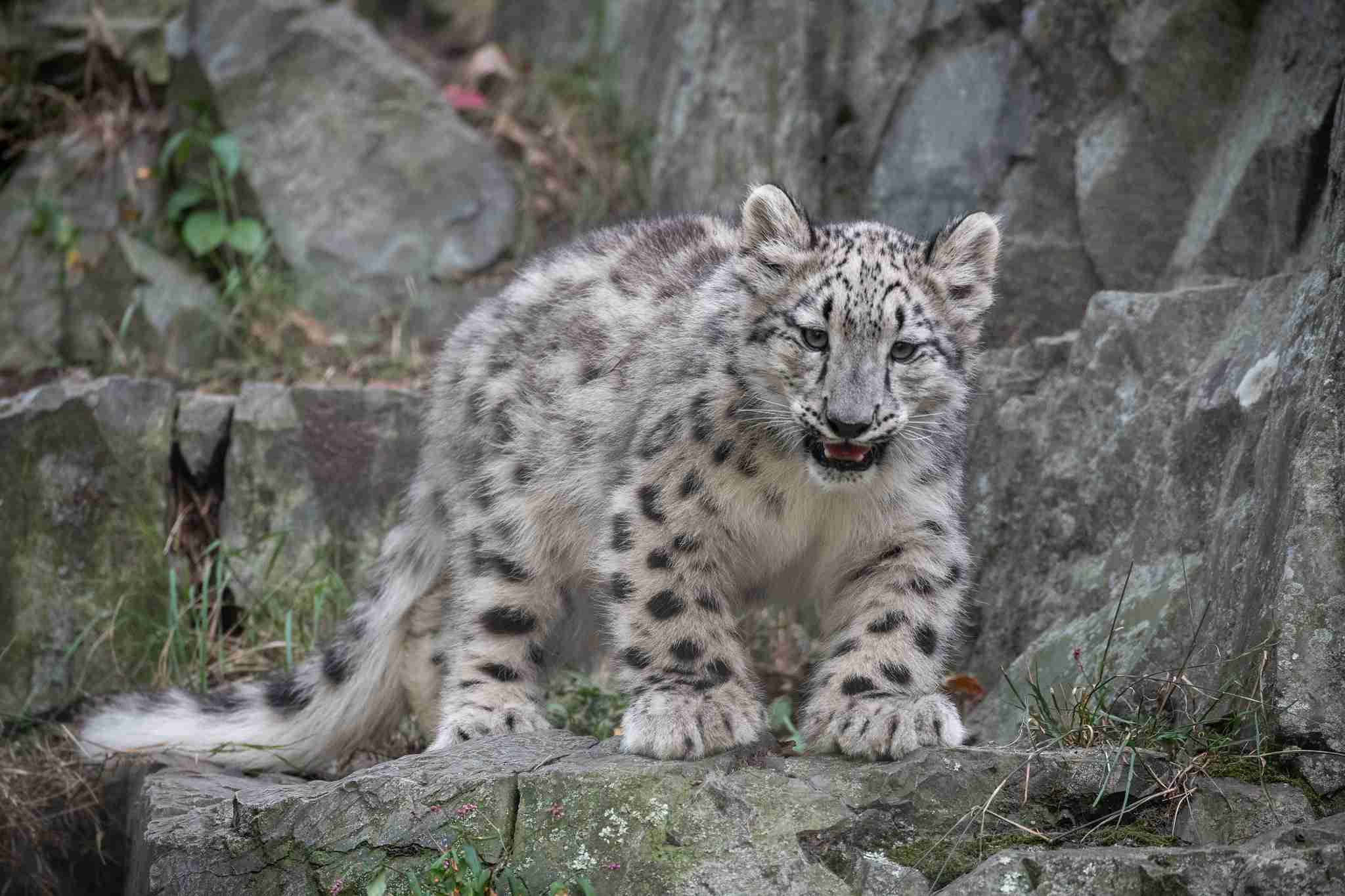 Snow leopard sitting on a rock.