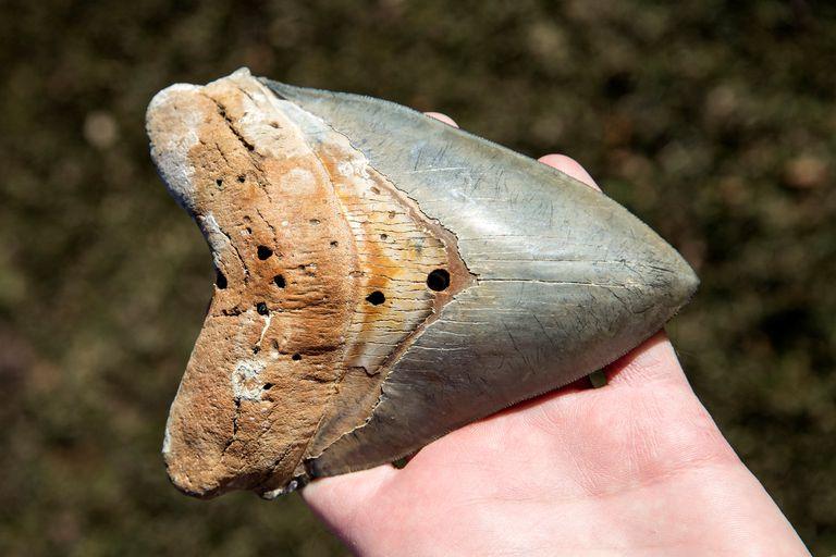 Megalodon skark tooth