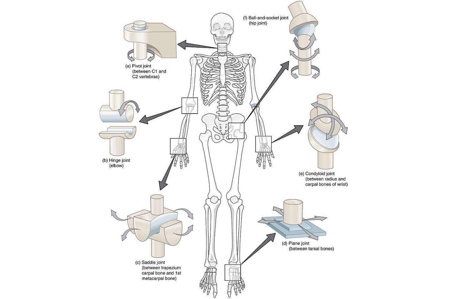 Types Of Joints In The Body