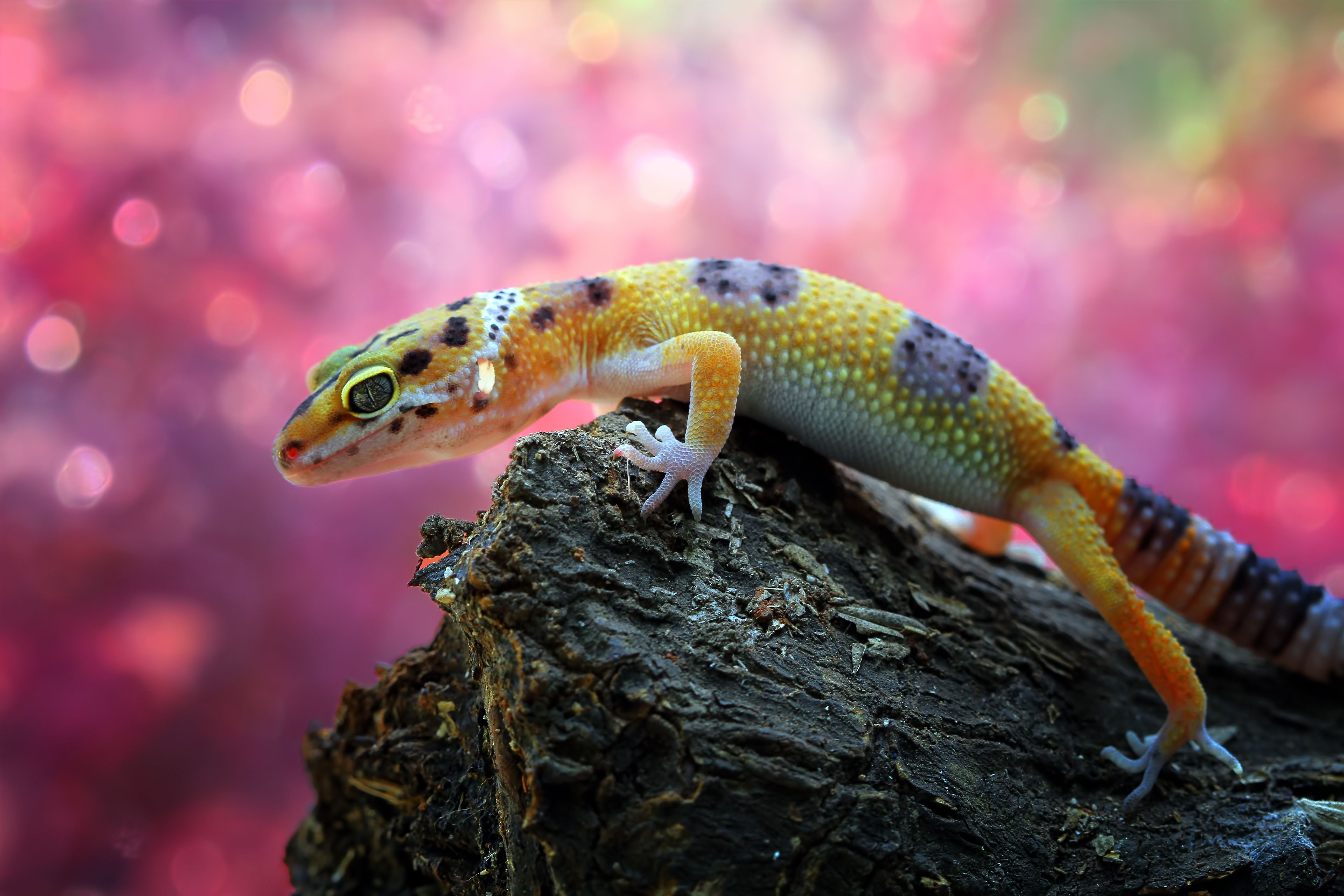 Close-up of a yellow leopard gecko with black spots, resting on a stump