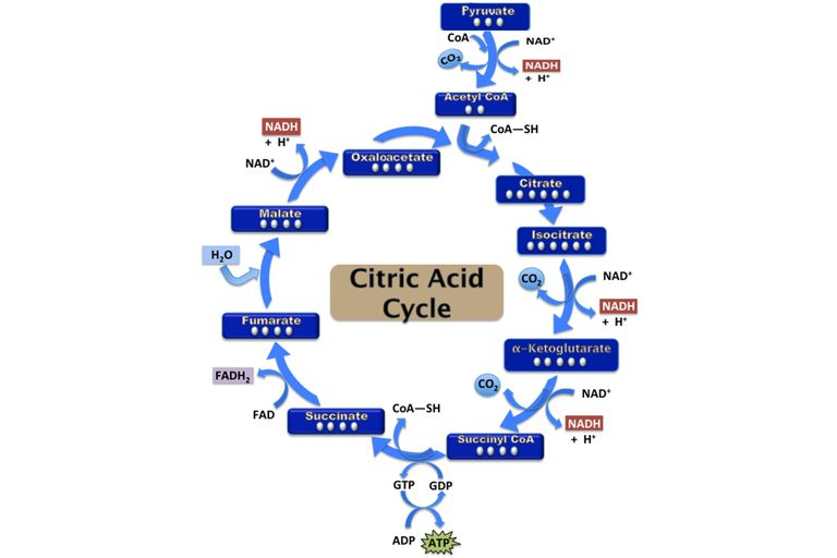 citric acid cycle steps  atp production