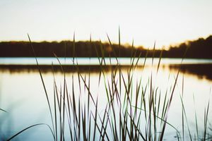 Close up of reeds on the water during sunset.