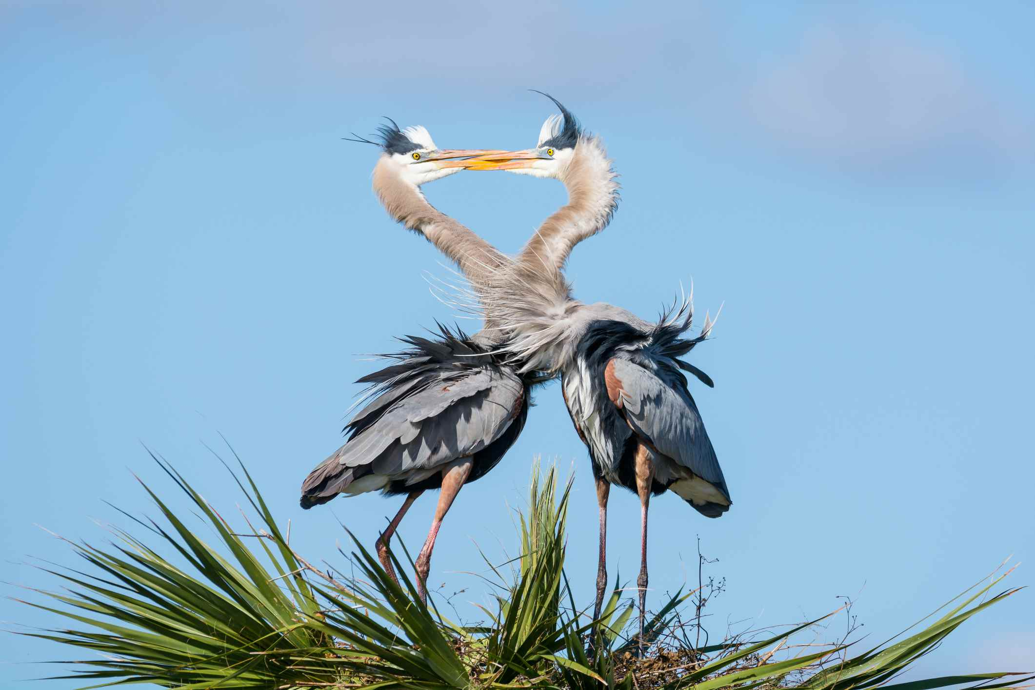 Great Blue Herons have a mating ritual