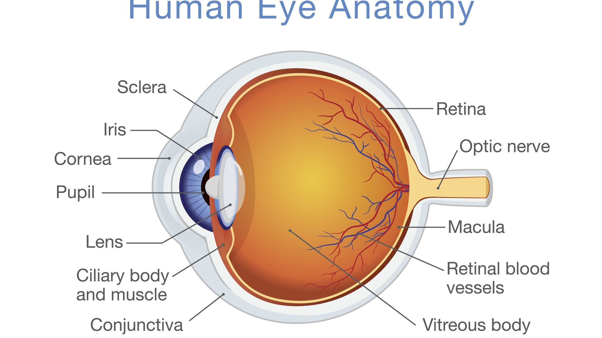 structure and function of the human eye  thoughtco