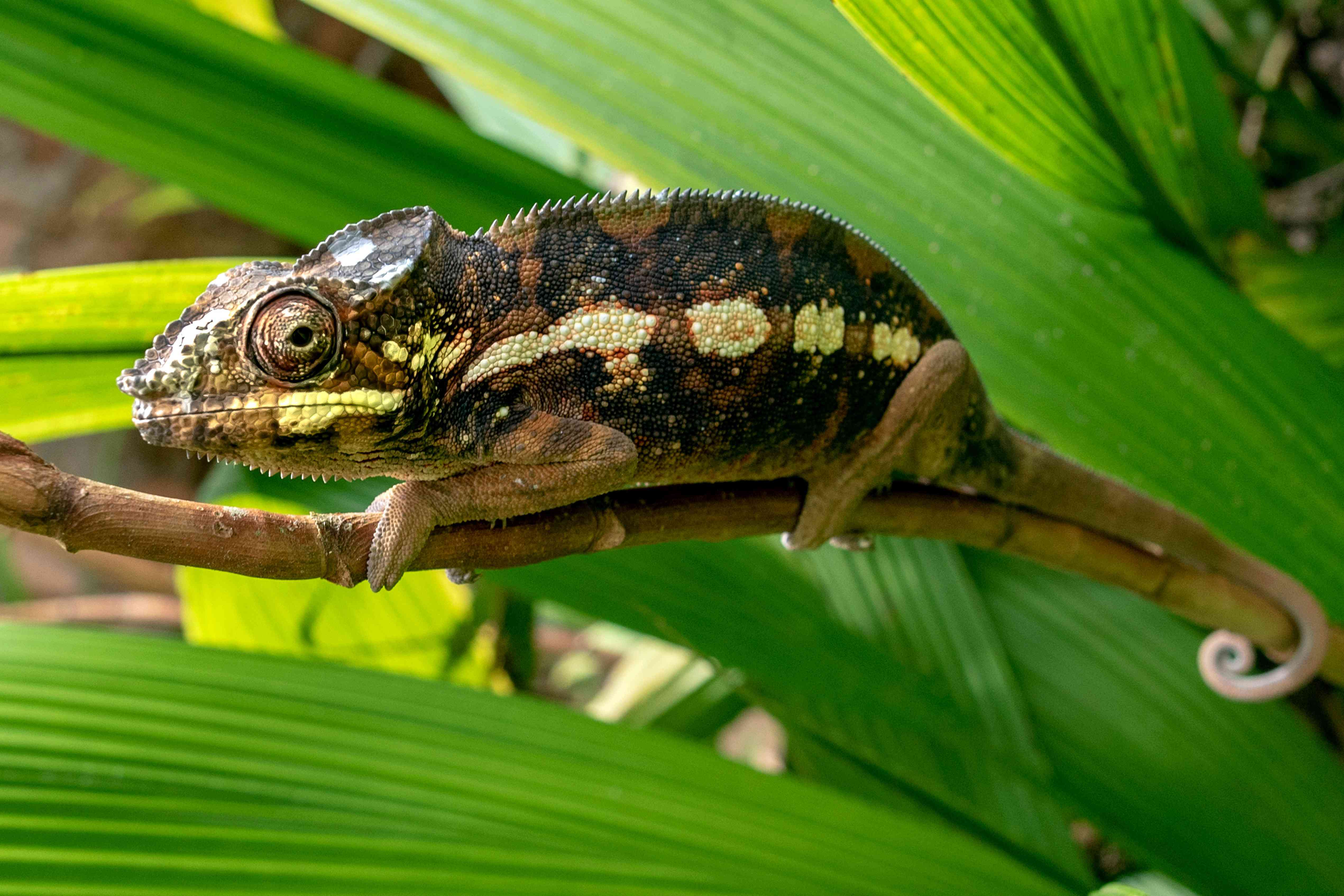 A Malagasy giant chameleon (Furcifer oustaleti) in mottled browns and yellows on a leaf in Madagascar