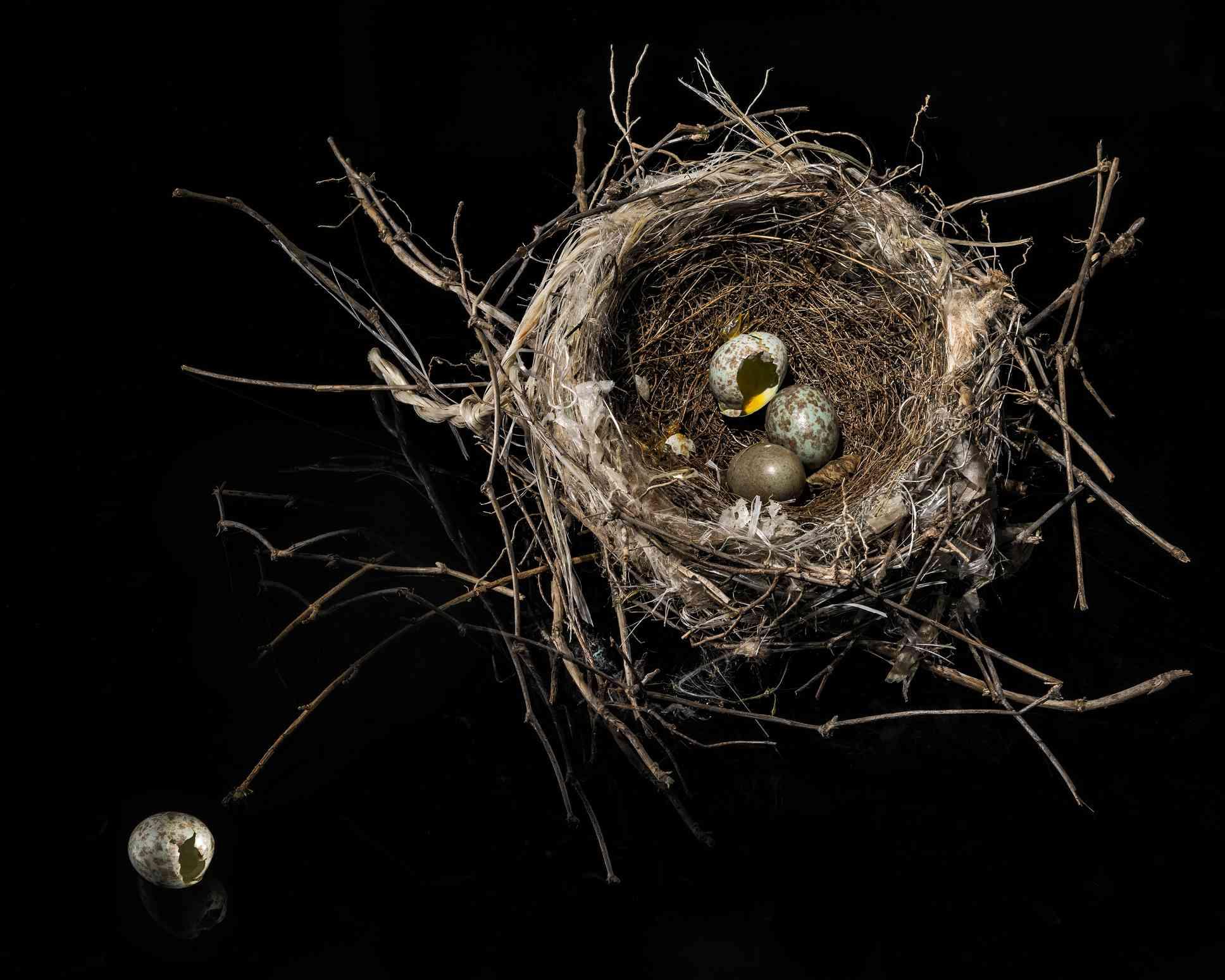 Βόρεια φωλιά mockingbird