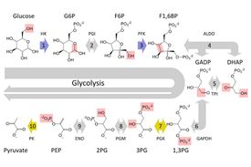 Diagram showing the process of glycolysis