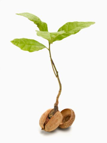 Oak Tree Sapling / Acorn