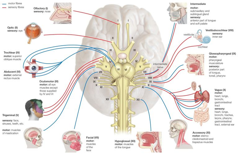 Names, Functions, and Locations of Cranial Nerves