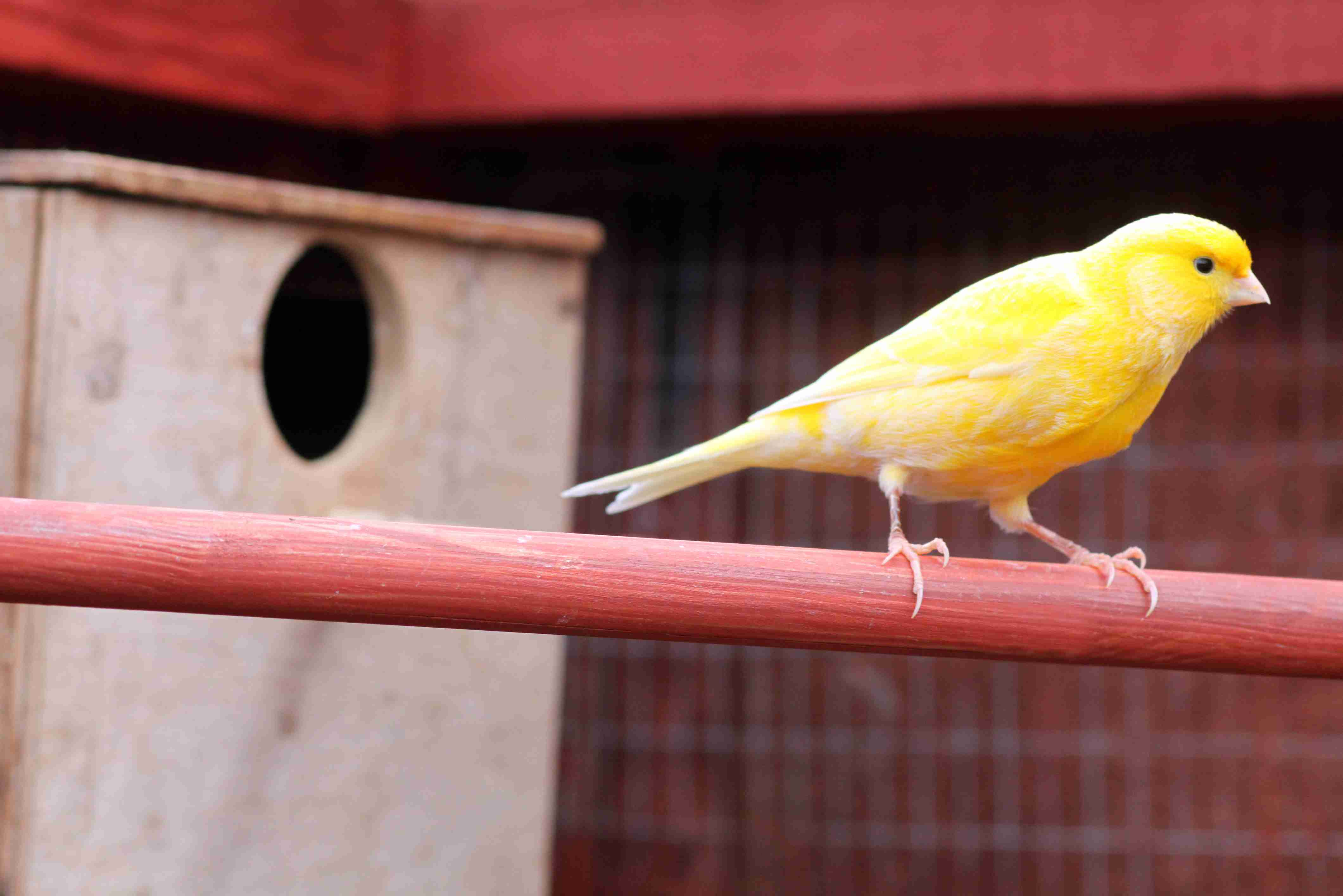 Golden canary standing on a red wooden pole