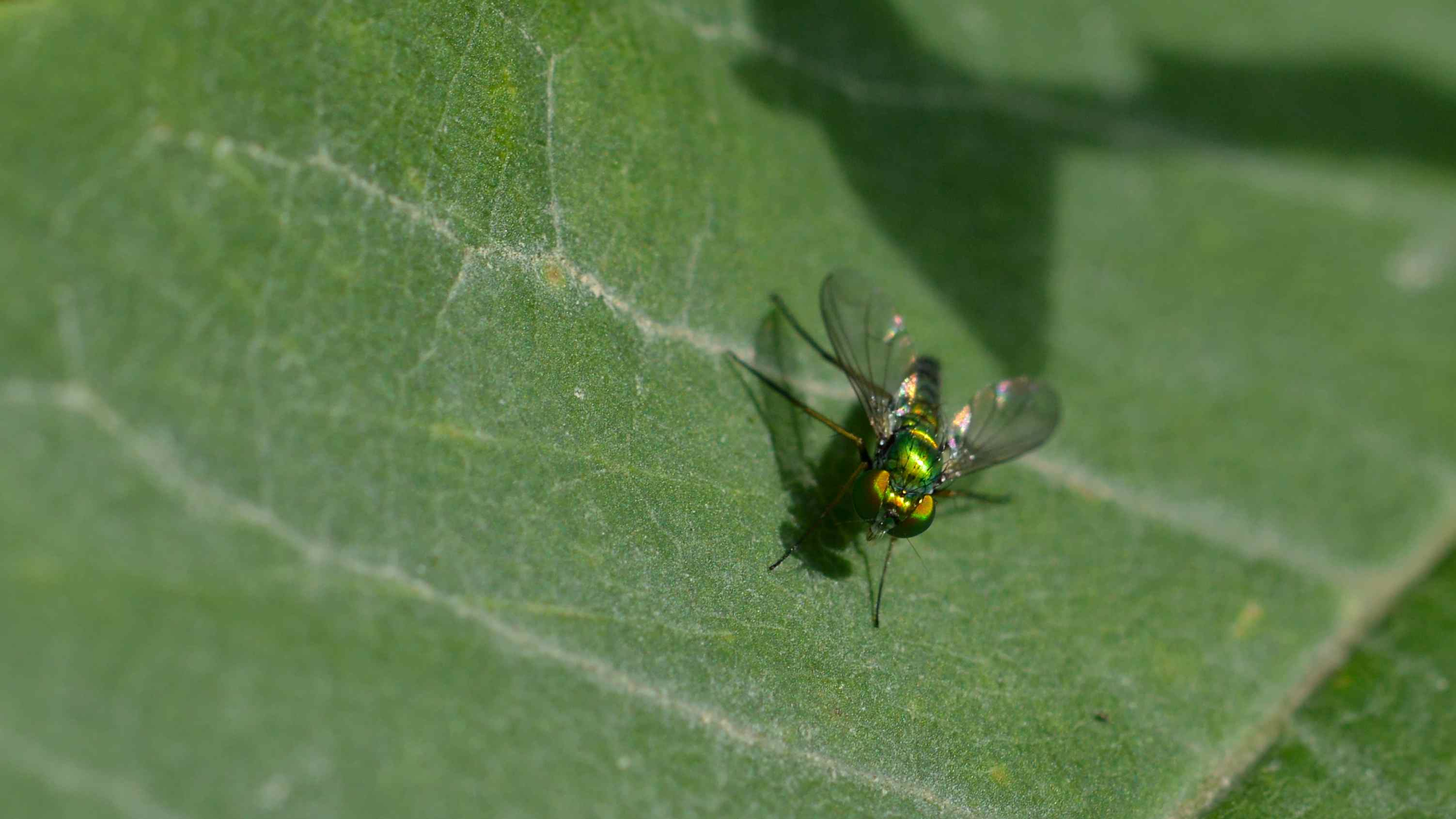 A fly of the Diptera order sitting on a leaf.