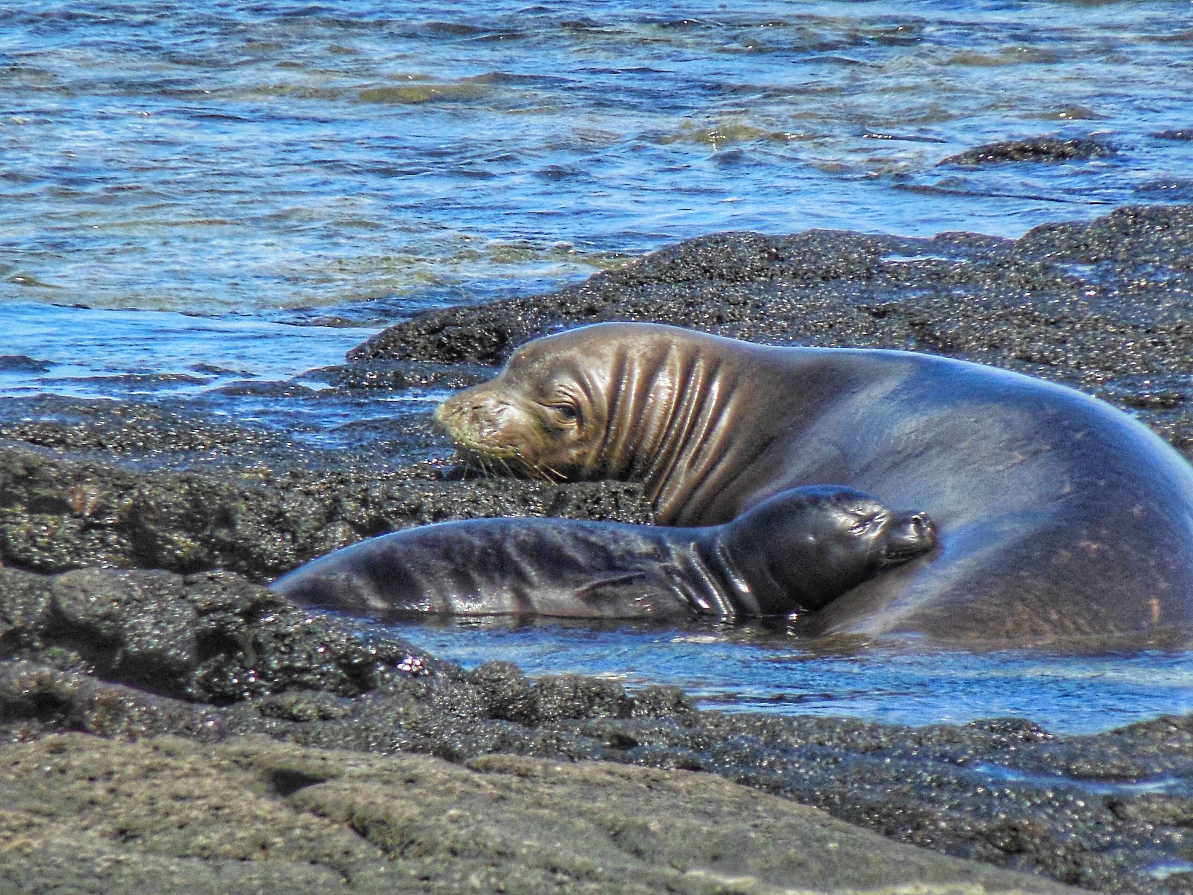 While nursing, a female seal stops eating and remains with her pup.