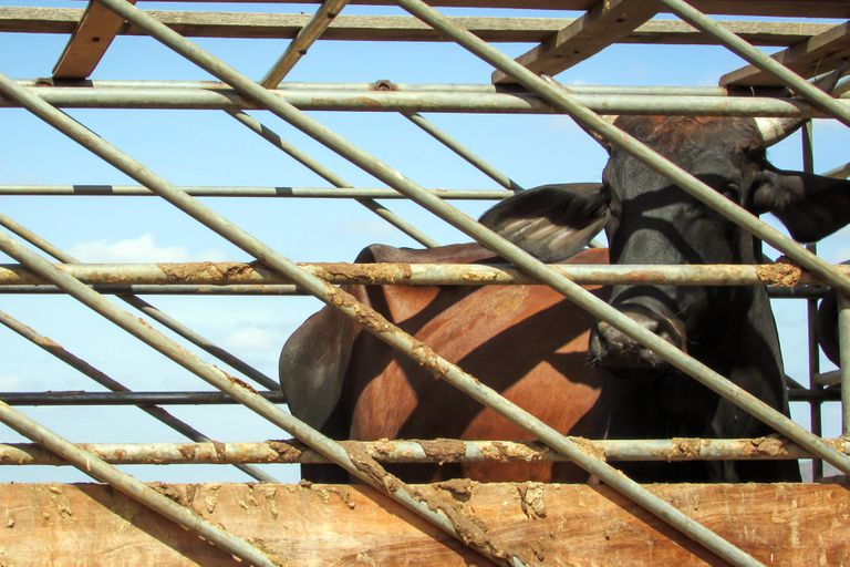 A cow behind bars