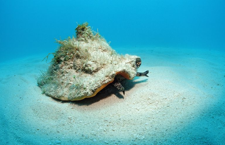 Conch Shell, Bahamas / Reinhard Dirscherl / WaterFrame/ Getty Images