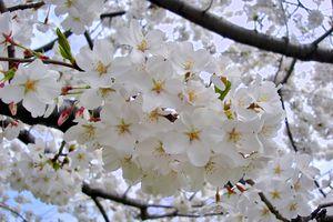 yoshino cherry tree flowers