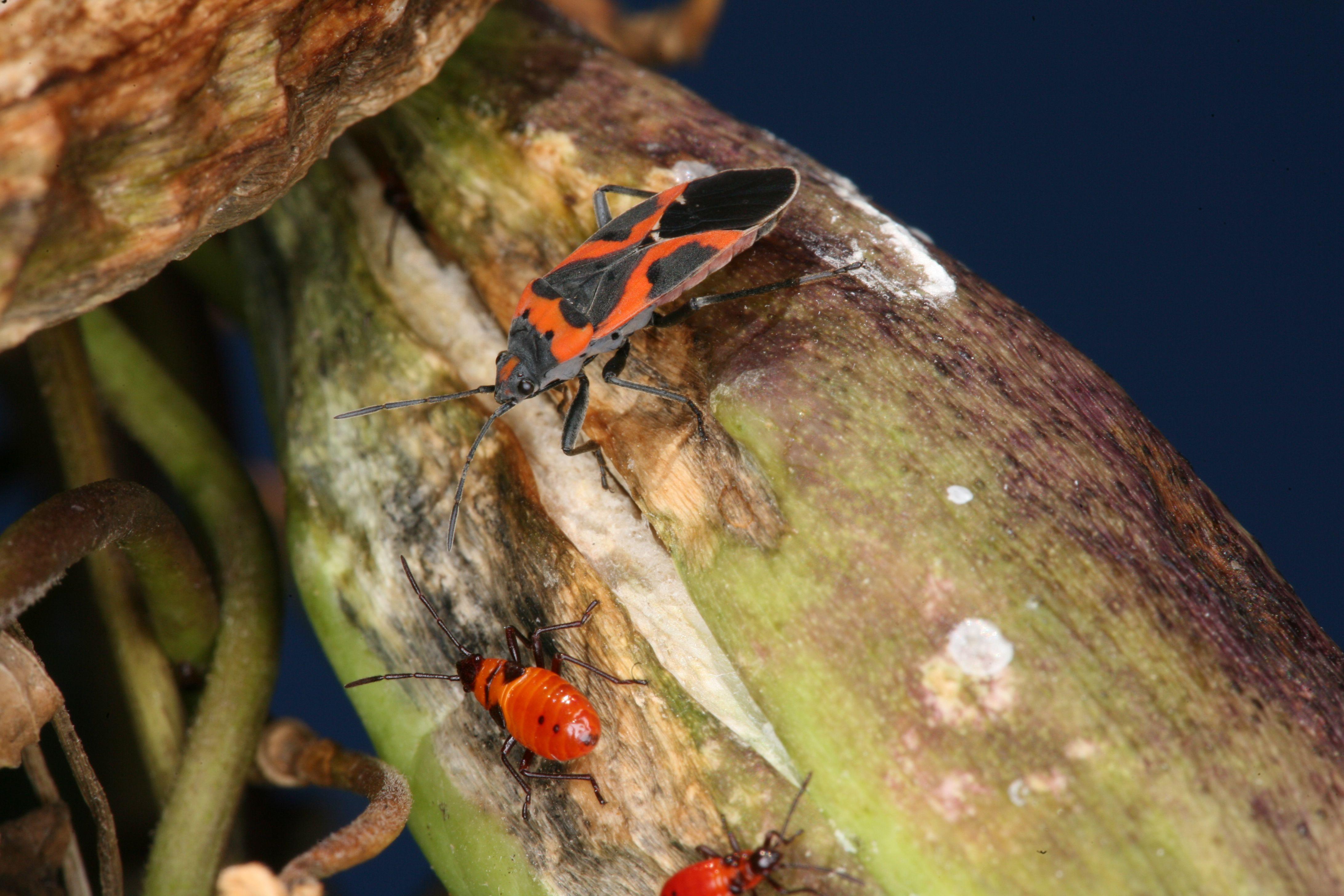 Small milkweed bug.