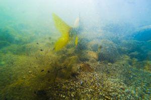 Trout swiming