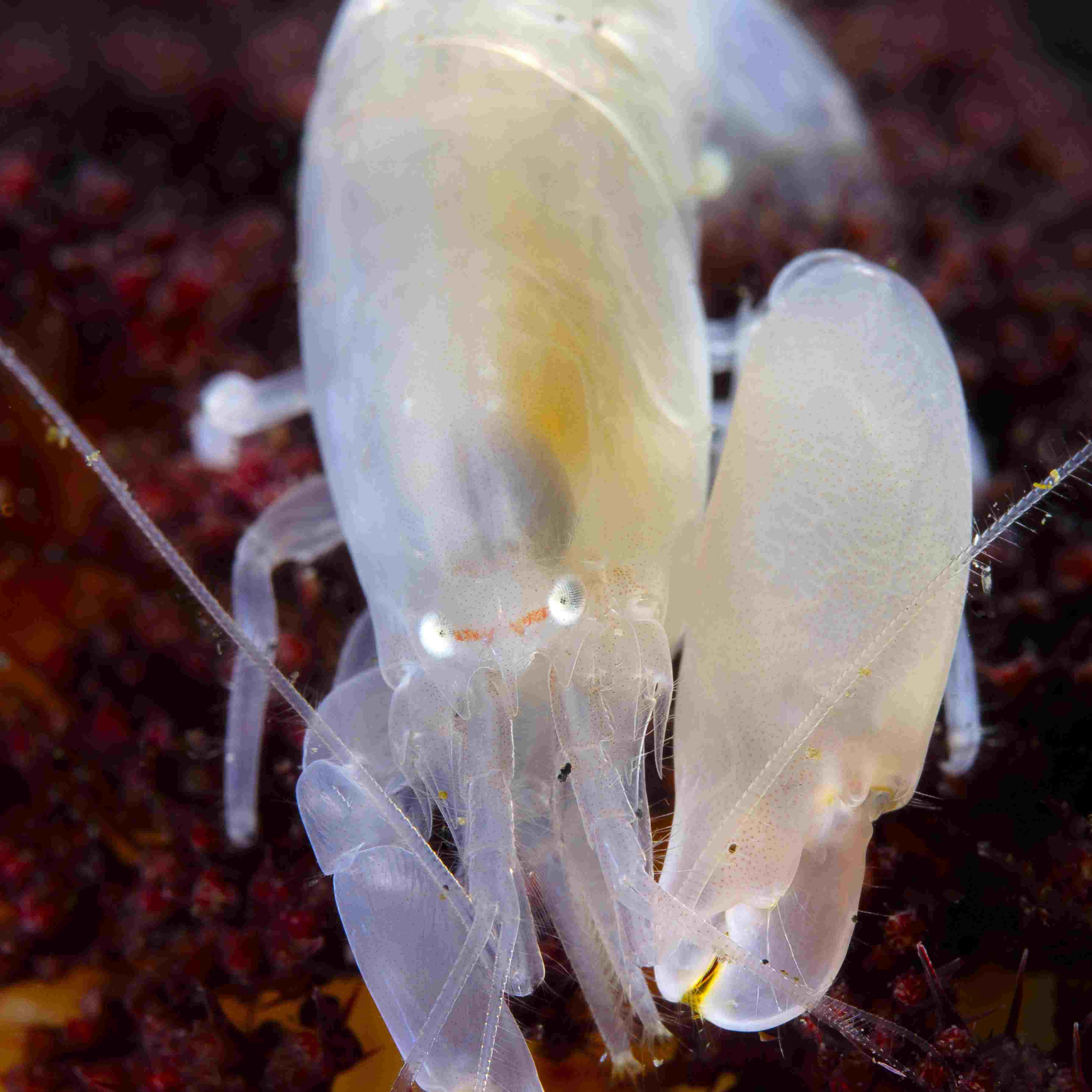 Close up of a snapping shrimp.