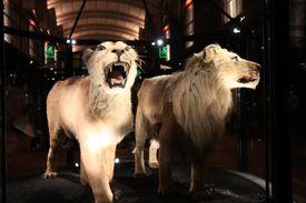 Barbary Lion (Panthera leo leo) and Cape lion (Panthera leo melanochaita) in Muséum National d'Histoire Naturelle in Paris, France.