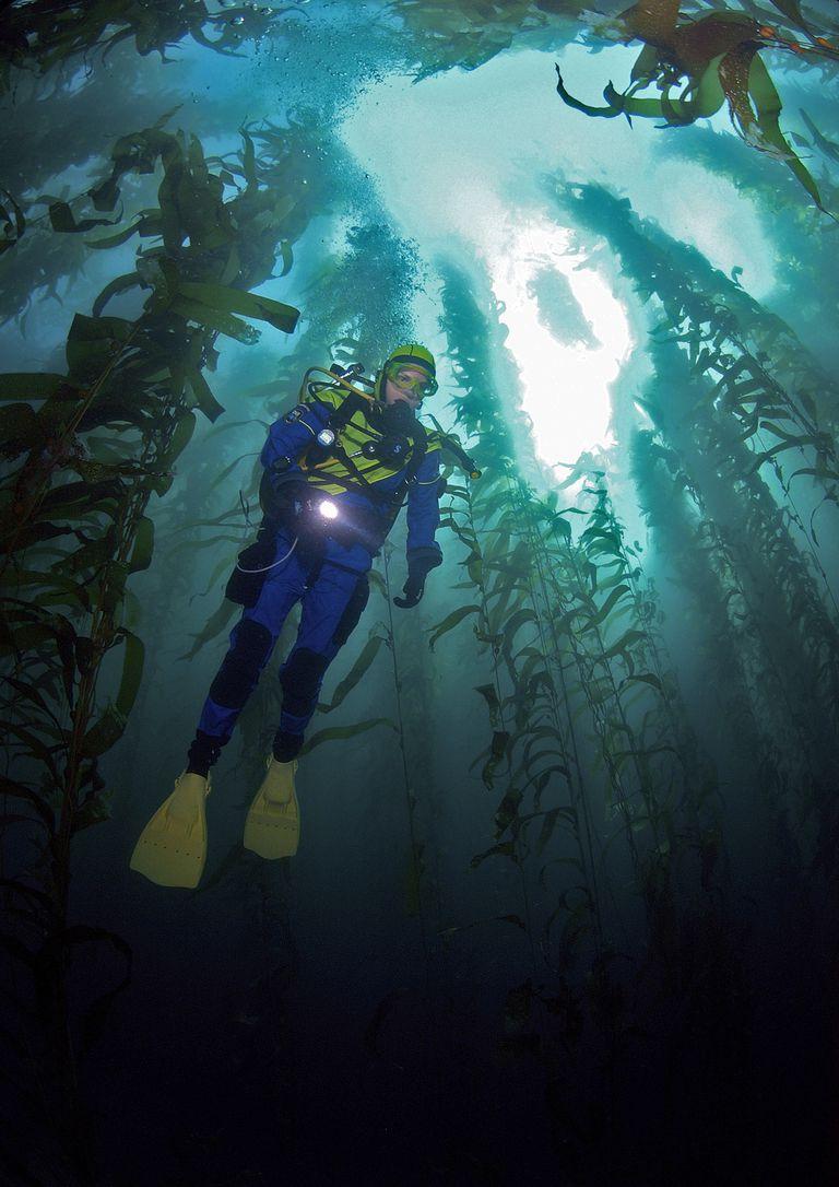 Scuba diver swims through a kelp forest.