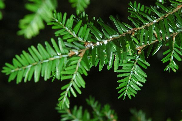 An infested hemlock bough
