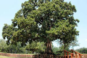 post oak tree