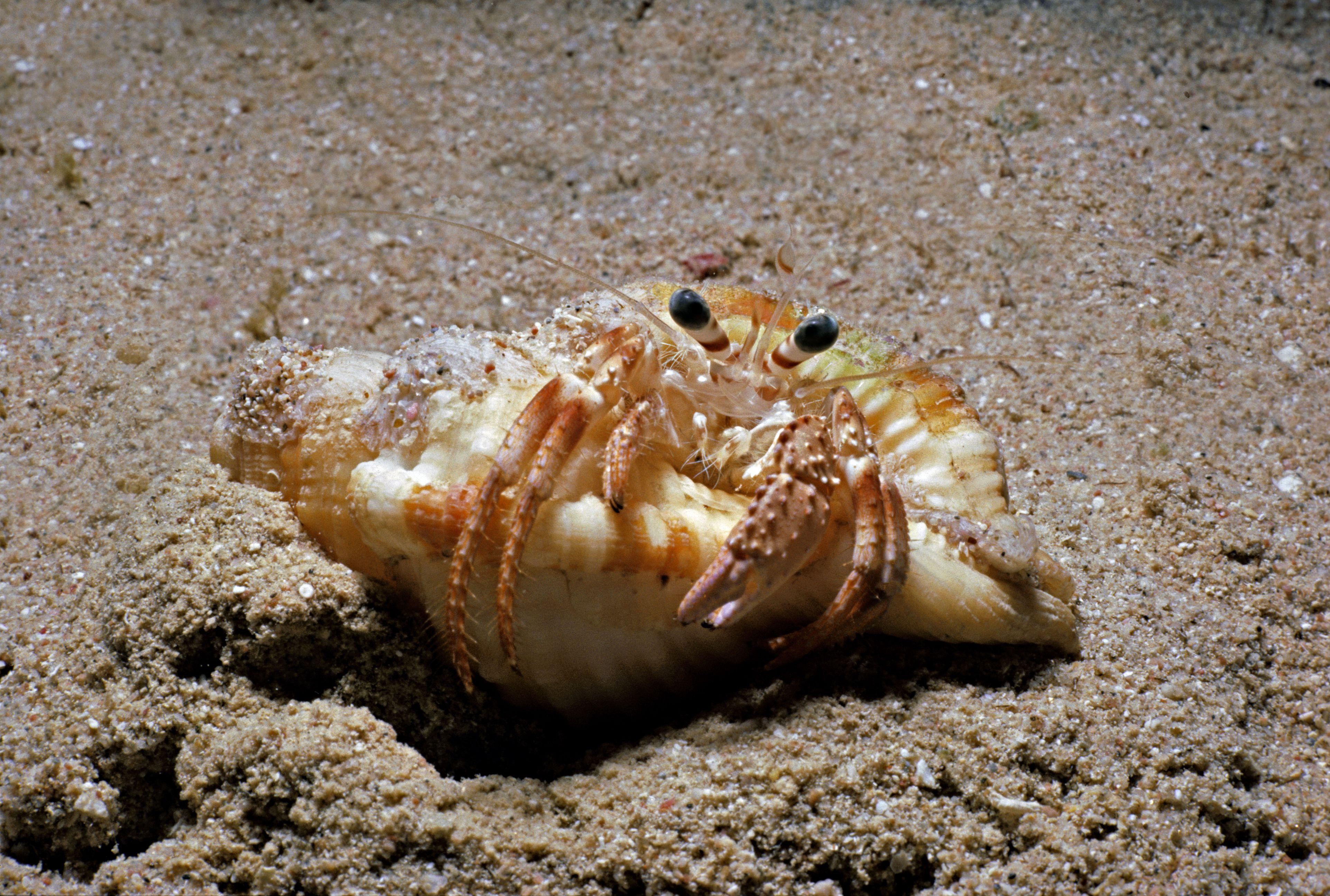 Einsiedlerkrebs gräbt ein Loch, um sich auf die Häutung vorzubereiten, Rotes Meer