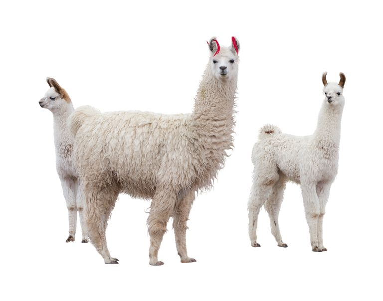 Female llama with young (cria).