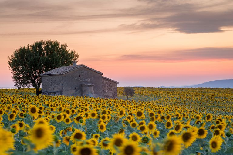 Provence, Sunflowers field