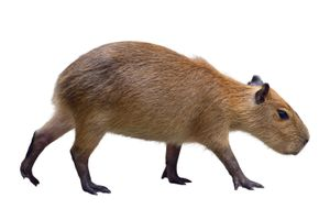 The capybara is a large South American rodent.