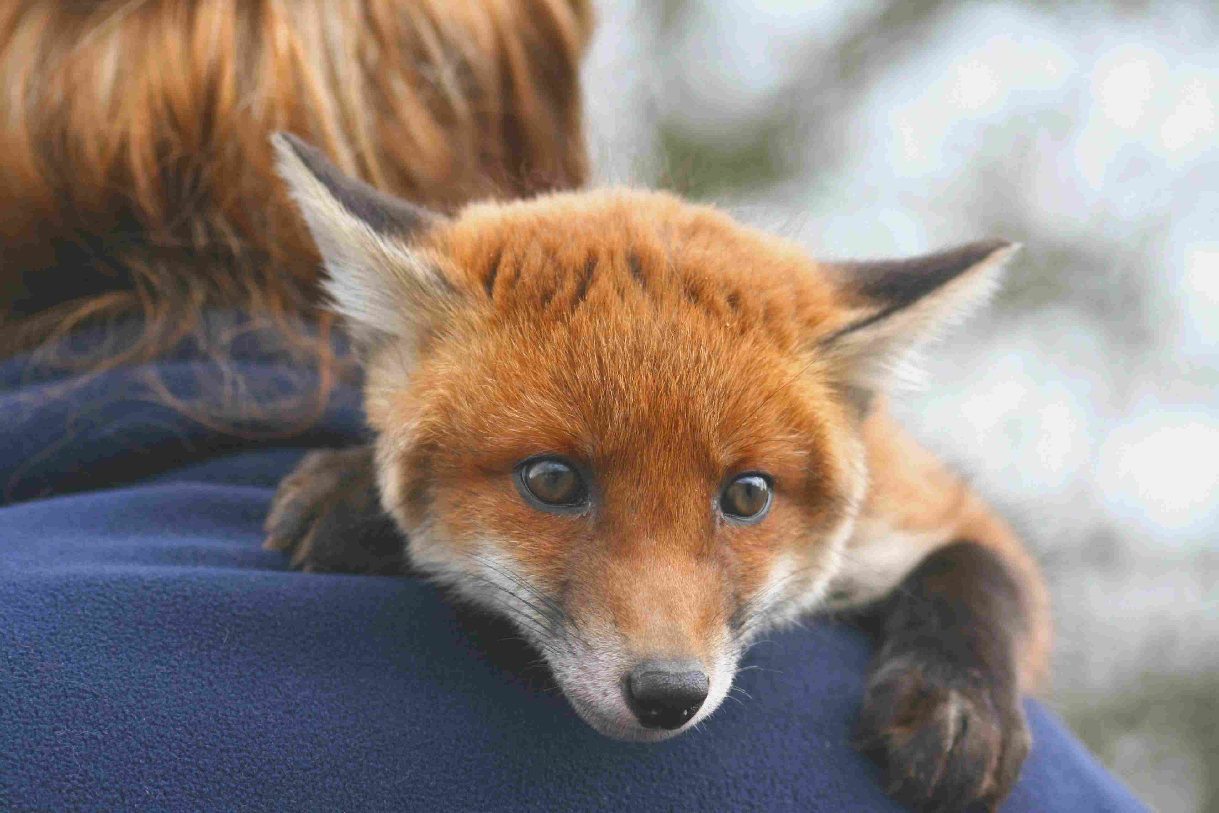 In some places it is legal to keep a red fox as a pet.