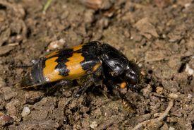 Burying beetle.