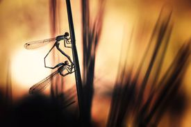 Silhouette of Two Dragonflies Mating at Sunset