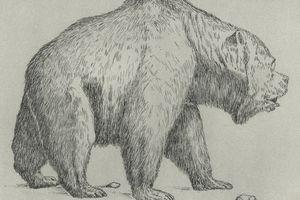 Cave bear (Ursus spelaeus), extinct bear from Pleistocene Epoch, drawing