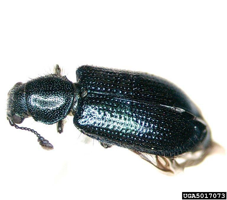 Blacklegged ham beetle.