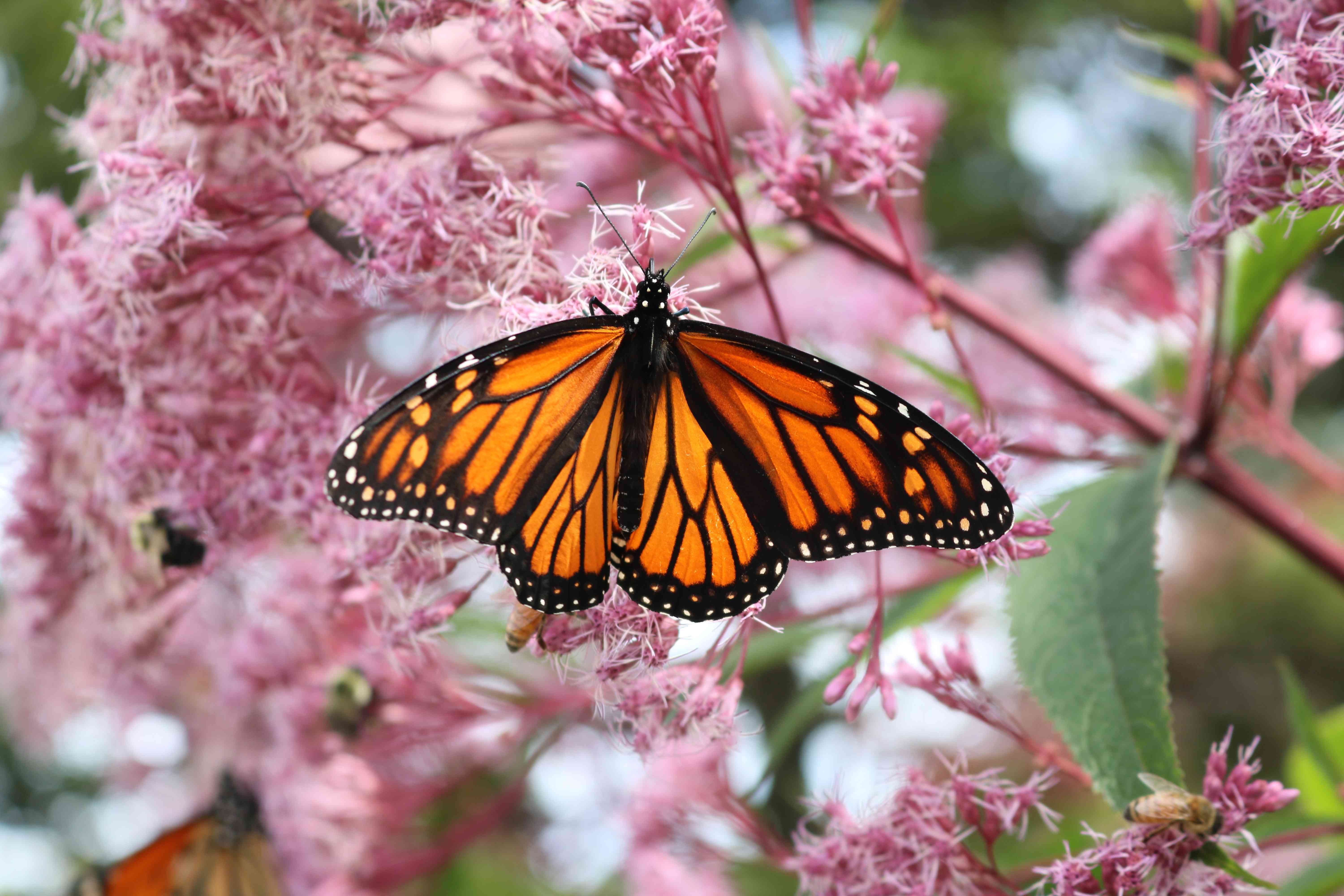 Monarch Butterfly and Pink Flowers
