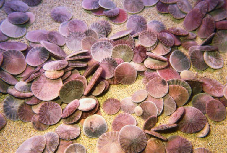 sand dollar facts and information